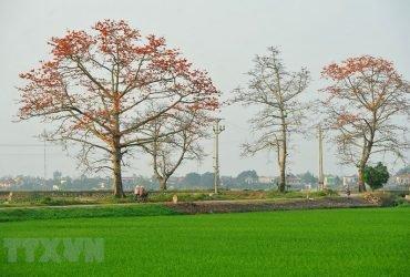 hoa gạo ninh bình, mùa hoa gạo