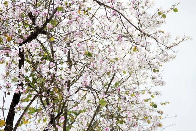 Tháng 3, hoa ban nở rợp