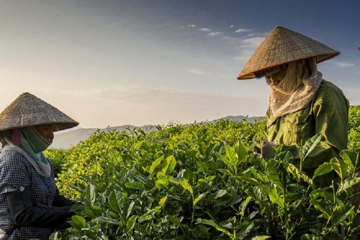 trà Tân Cương Thái Nguyên nổi tiếng