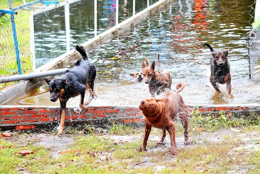 Đặc tính chó Phú Quốc