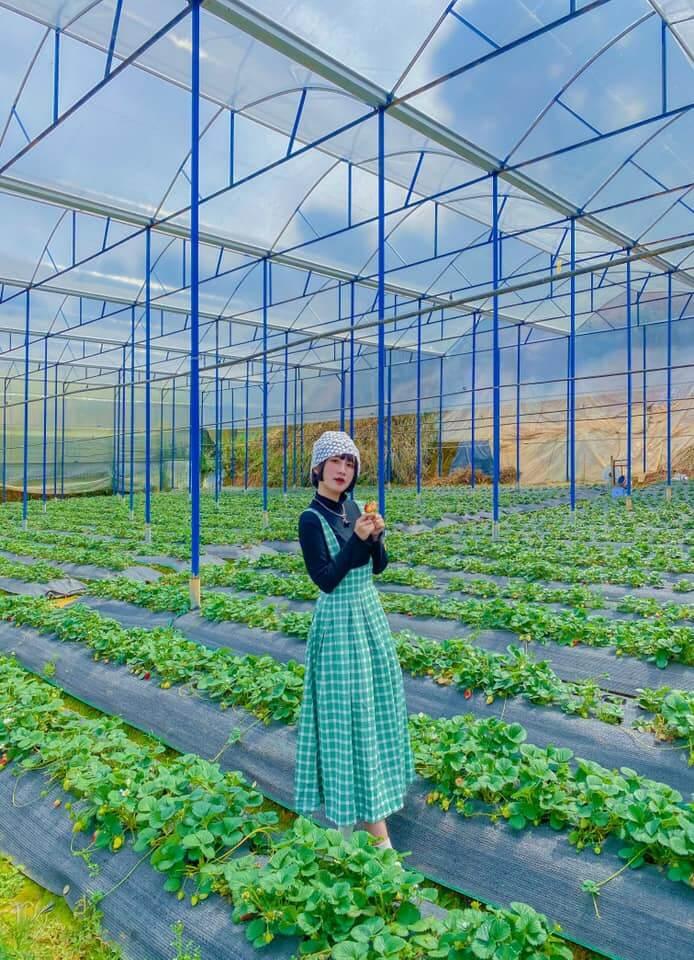 Vườn dâu tây cúc họa mi ấn tượng