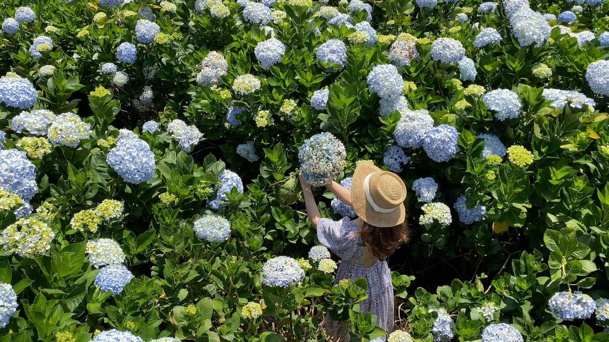 Giới thiệu về hoa cẩm tú cầu và ý nghĩa của chúng